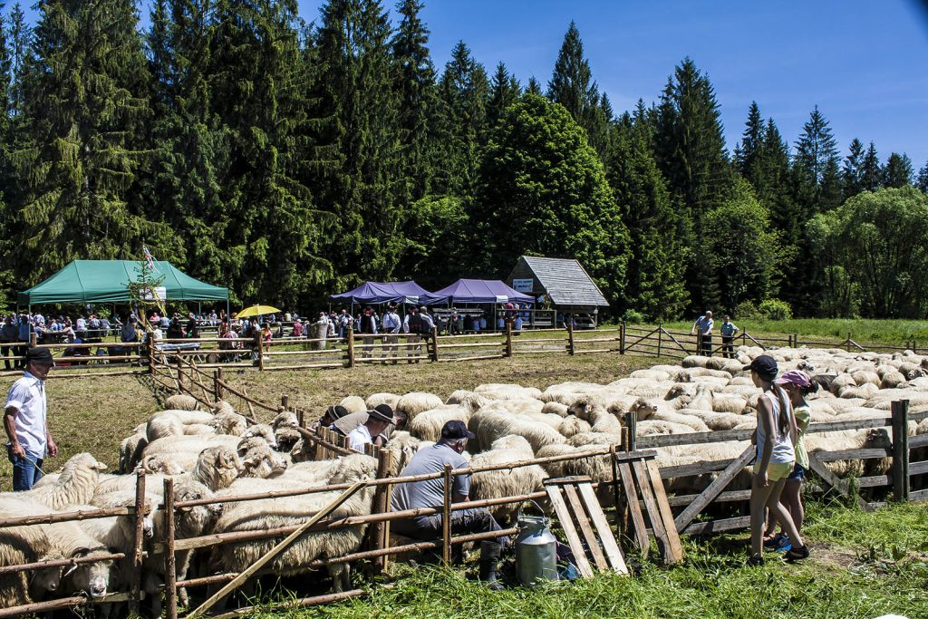 Dojenie owiec Soblówka oscypki